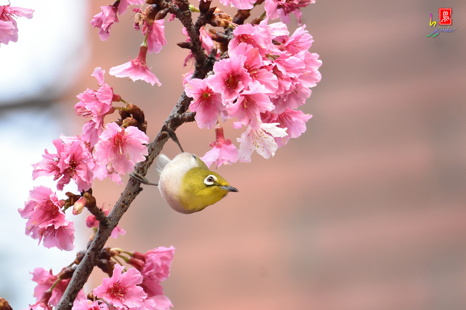 White-eye_Sakura_4976