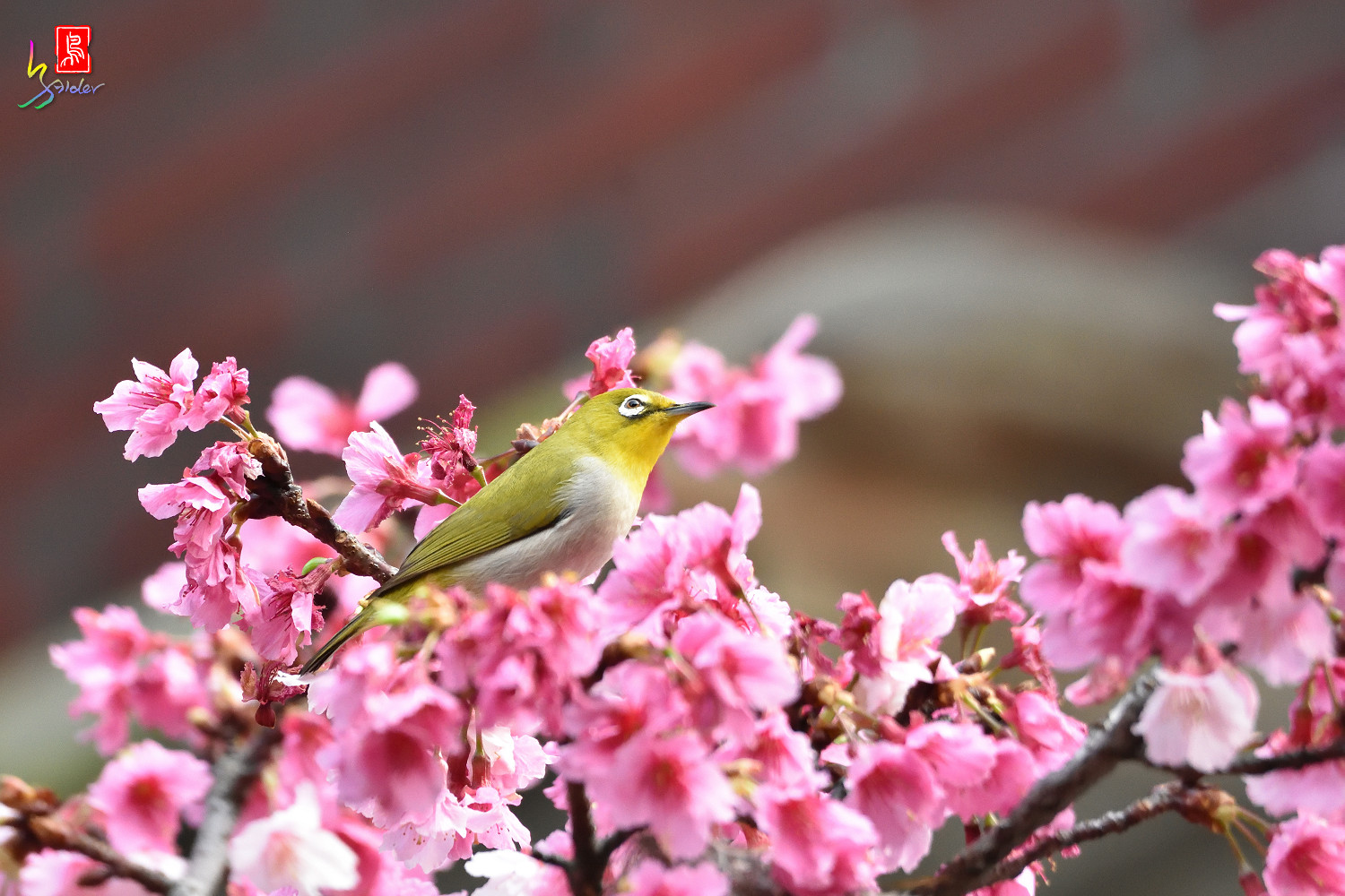 White-eye_Sakura_4889