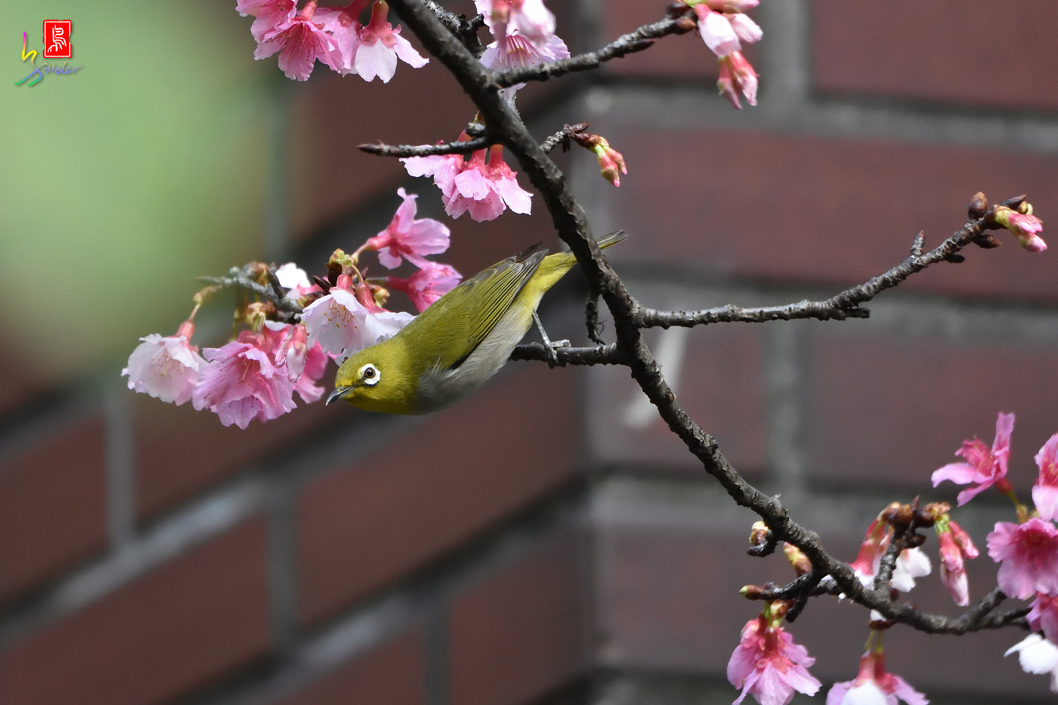 White-eye_Sakura_4824