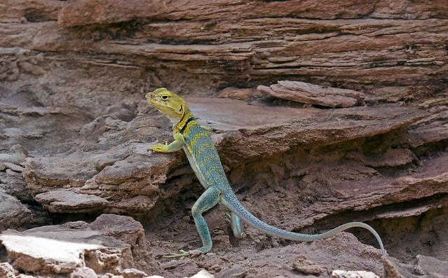 collared lizard bipedal