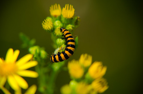 Cinnabar caterpillars on ragwort, Baggeridge