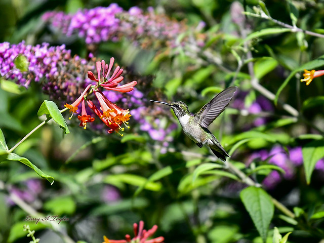 Hummingbird-12x16-Taken on Tennessee's Cumberland Plateau