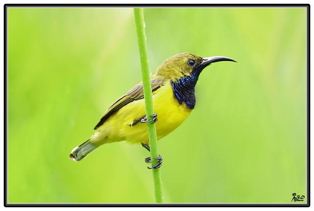 Male Olive- backed Sunbird (Nectarinia jugularis)