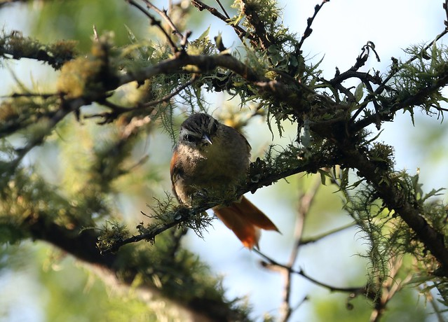 Stripe-crowned Spinetail (cranioleuca pyrrhophia) looking down from small tree
