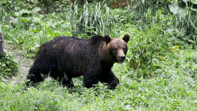 European Brown Bear - Ursus arctos