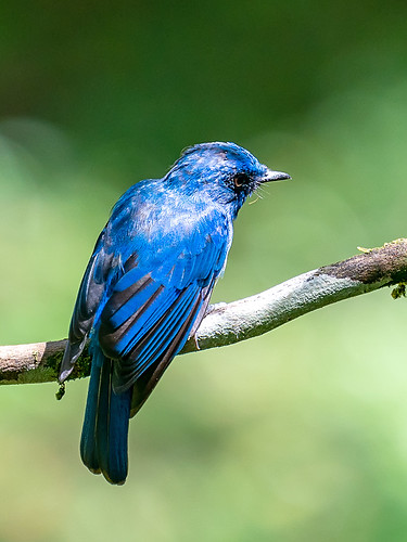 Malay Blue-flycatcher (Cyornis turcosus)