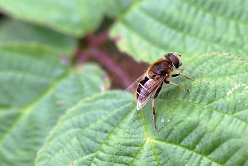 Stripe-faced Dronefly (Eristalis nemorum) [Explored!]