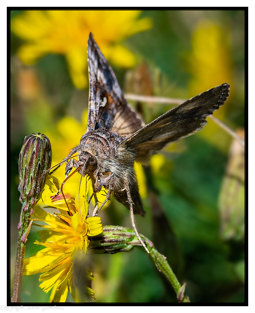 Moth searching for nectar.
