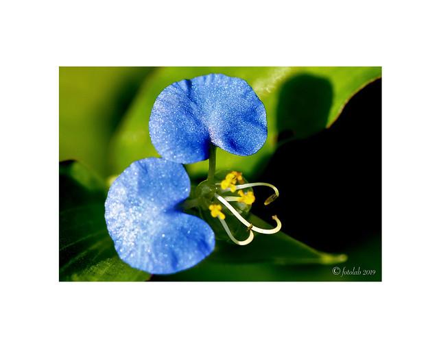 Flora de Panamá, (Commelina erecta)