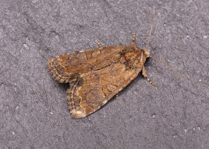73.172 Cloaked Minor - Mesoligia furuncula