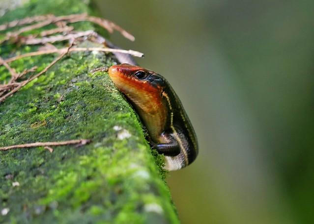 Five Lined Skink (Plestiodon fasciatus)