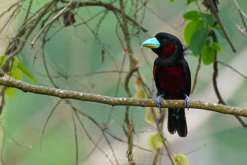 Black-and-red Broadbill (Cymbirhynchus macrorhynchos) 黑紅闊嘴鳥