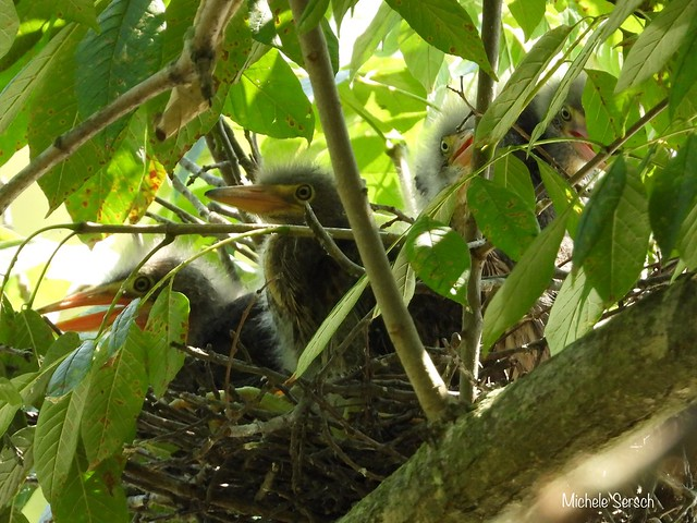 Baby Green Herons in the nest - 2 of 2