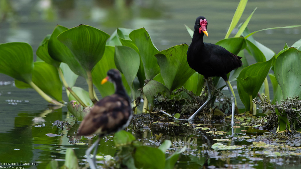 Wattled Jacana, juvenile in front