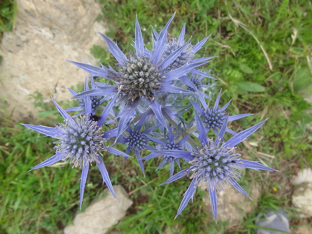 Sea Holly, Cabeza Juan Robre walk