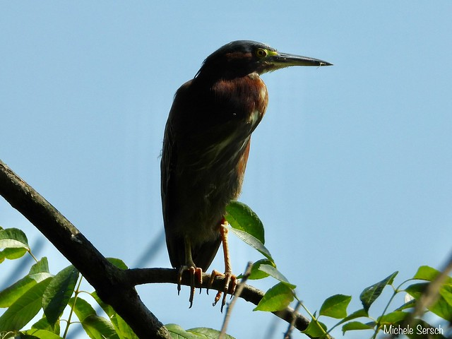 Adult Green Heron looking over the nest - 1 of 2