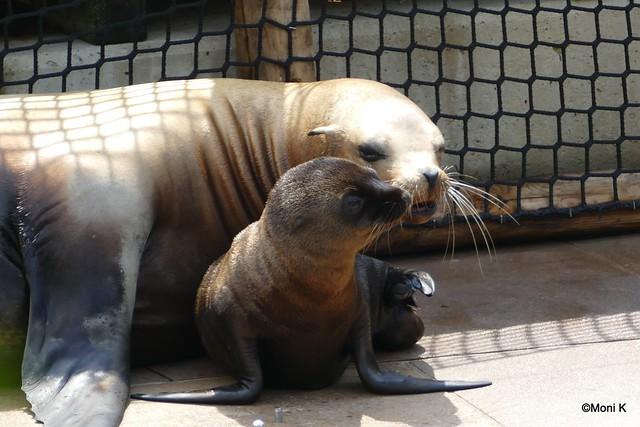 04-Seelöwen mit Nachwuchs