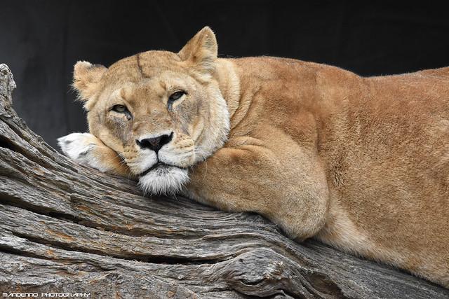 African lioness - Tierpark hagenbeck