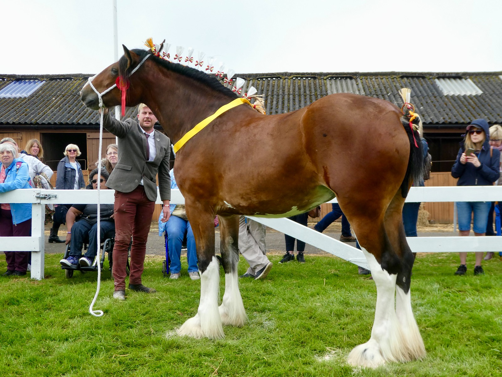 Judging of Clydesdale horses, Great Yorkshire Show, Harrogate