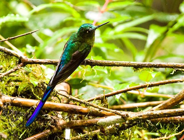 0P7A1471  Violet-tailed Sylph  Hummingbird, Ecuador
