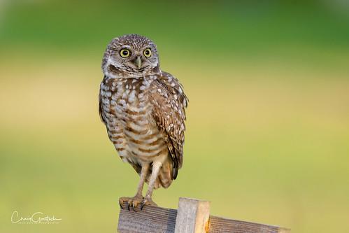 burrowingowls capecoral floridawildlife bird avian nature wildlife nikon d500