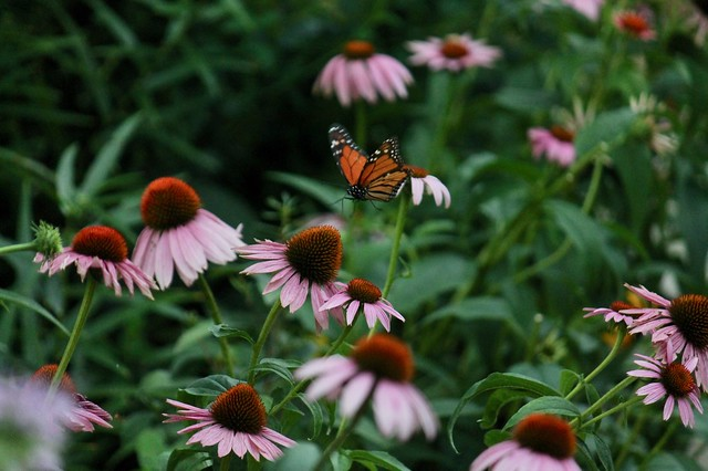 Monarch butterfly landing on coneflower