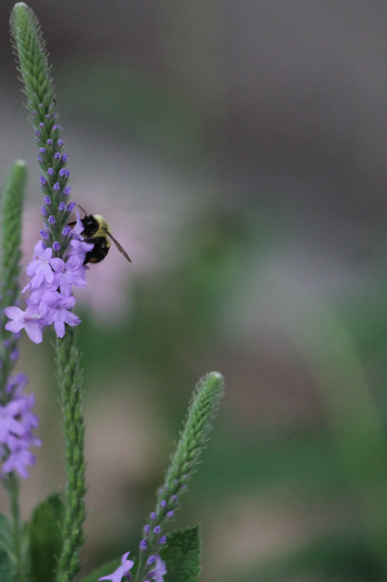 Bumblebee on hoary vervain
