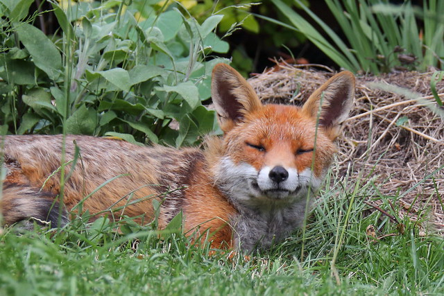 Fox, nodding off
