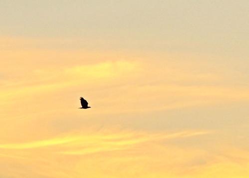Bald Eagle on golden sky 04-20190728