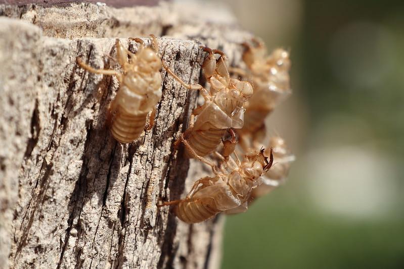 Empty Cicada skins