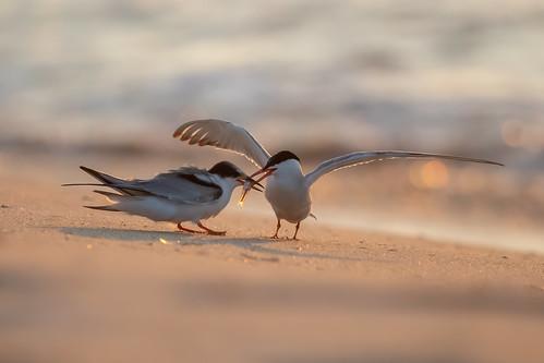 bird birds tern terns commonterns feeding nature wildlife animals drdadbooks danieladauriamd lbi longbeachisland newjersey shorebirds july2019