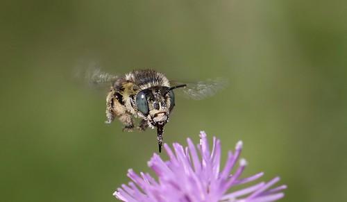 Green-eyed flower bee ~ Anthophora bimaculata {explored}