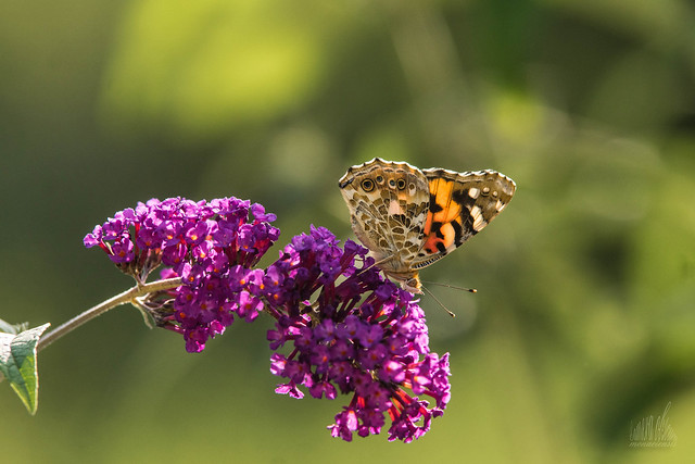 Buddleia and Butterfly