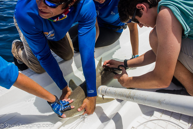 MBIO2019_Miami_S2_SharkTagging_P69