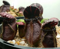 "Cephalotus follicularis ""Munich giant"""