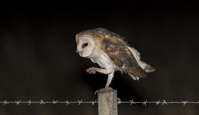 Coruja das torres | Tyto Alba | Barn Owl