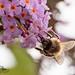 Garden Bee Shots-2.jpg