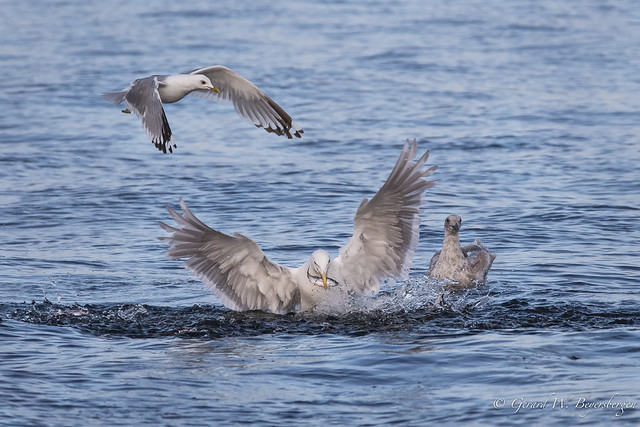 Herring Gull and Mew Gull
