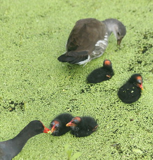 Common moorhen family at GRU wetland park, GNV
