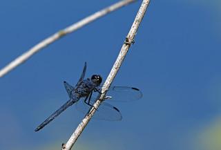 Dragonfly-11-FLK