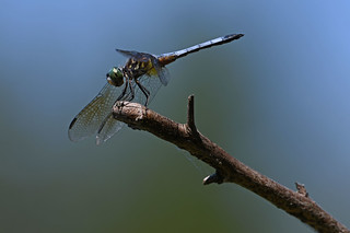 Dragonfly-8-FLK