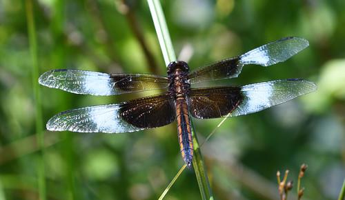 Dragonfly-12-FLK