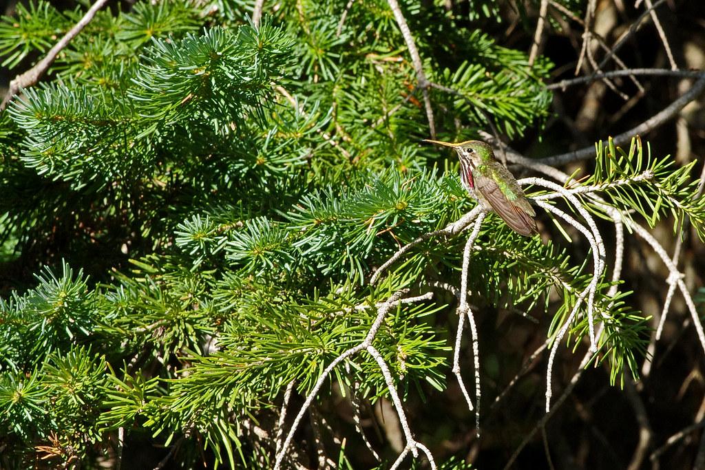 Calliope Hummingbird (Selasphorus calliope) male in a fir.  Sandia Mountains, New Mexico, USA.