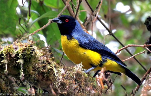 Hooded Mountain Tanager - Buthraupis montana - Azulejo Real