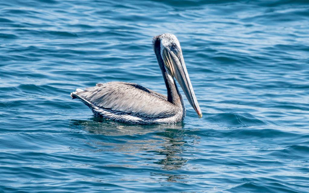 Pelican (1 of 1)