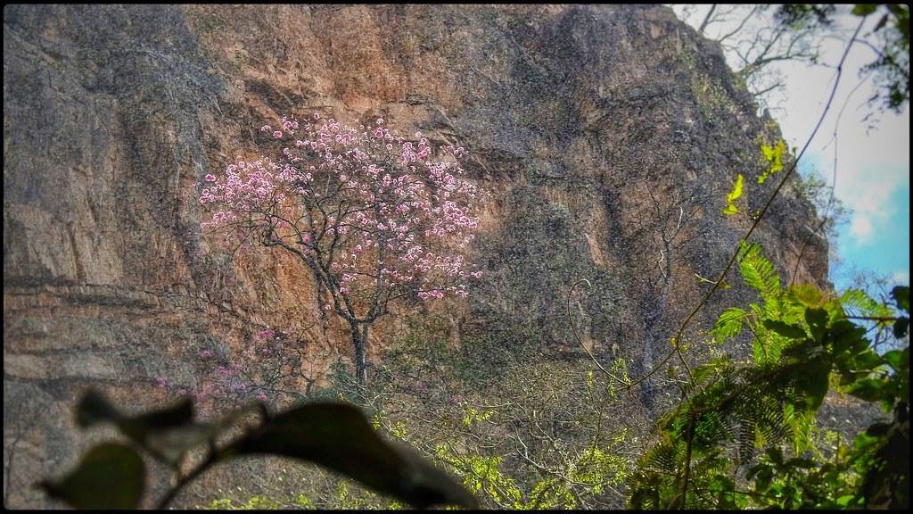 Salto do Itiquira Floração do Ipê-rosa