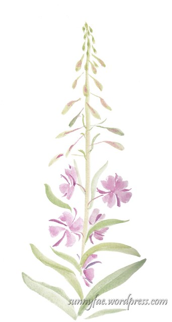 rosebay willow herb sketchbook