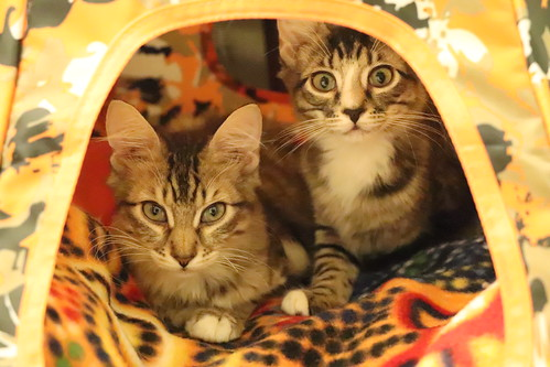 New kittens! Brothers Loki and Aslan joined our family today.