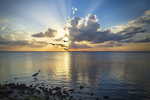 november light sunset orange pelicans water beautiful birds yellow clouds gold golden bay harbor flying intense waves florida flock hunting shoreline dramatic shore puntagorda fl rays prey isles beams stalking poncedeleon pgi littleblueheron historicalpark charlotteharbor 2017 chanelmarkers stevefrazierphotography waterscape landscape scenery scene cloudy