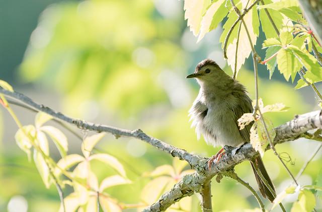 Moqueur chat // Gray Catbird